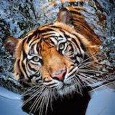 Що значить тигр, побачений у сні?