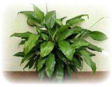 Кімнатні рослини і фен-шуй
